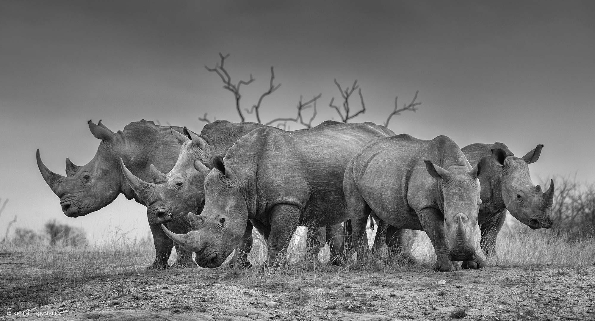 Grupo de rinocerontes