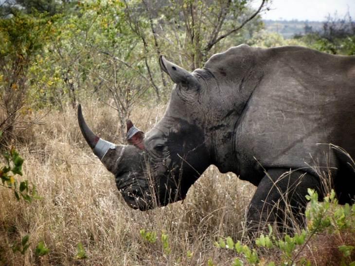 Rinoceronte tratado