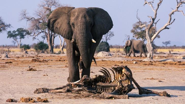 Elefante al lado de esqueleto