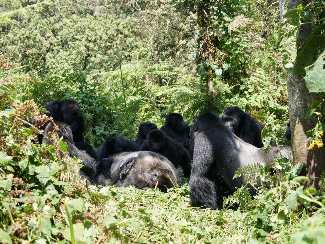 Gorilas alrededor de cadáver