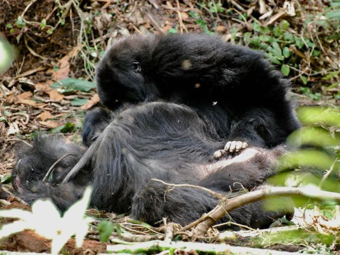 Cría de gorila junto al cadáver de su madre