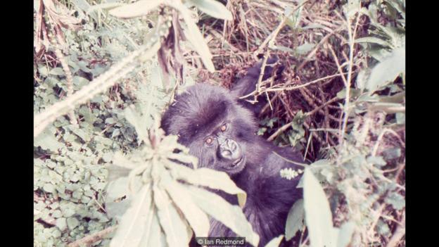 Titus el gorila